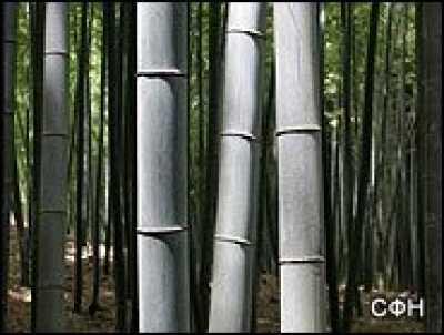Начата промышленная культивация бамбука